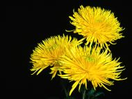 Chrysanthemum Shamrock