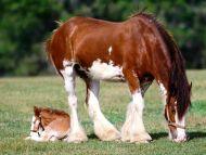 اجمل الخيــــولــ..... لايفوتكمــ.....جد كلامي مو  مزح Clydesdale-mare-and-foal