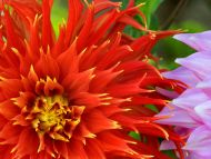 Colorful Dahlias
