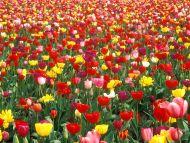 desktop wallpapers » flowers backgrounds » colorful tulip garden, Garden idea
