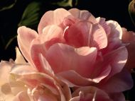 colors-of-the-rose