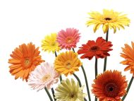 Colourful Gerbera