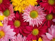 Colourful Gerbera Daisy