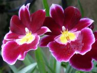 Cranberry Orchid