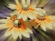 Cream Gerbera Daisy
