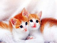 Desktop Wallpapers Animals Backgrounds Cute Kitty Cat
