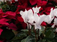 Cyclamen Poinsettia