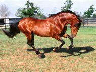 Dadivoso, Andalusian Stallion