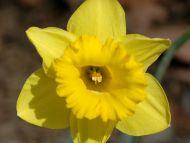 Daffodi 1gl
