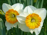 Daffodils White and Yellow