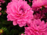Desktop Wallpapers Flowers Backgrounds Dahlia Karma Lagoon Www
