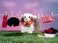 Daily Chores, French Lop Rabbit