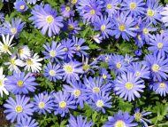 Daisy Purple