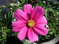 Dark Pink Daisy