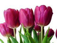 Dark Pink Tulipa Hybrid