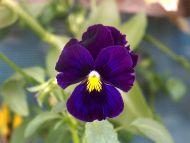Dark Purple Orchid