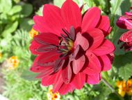 Dark Red Gerbera