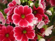 Dark Red Hydrangea