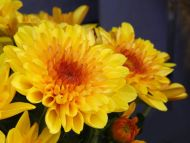 Dark Yellow Daisy