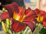 Daylily Red