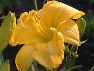 Daylily Yellow