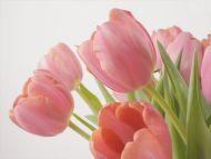 Declaration of Love, Tulips