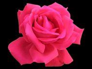 Desktop wallpapers flowers backgrounds deep pink rose www deep pink rose mightylinksfo