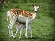 Deer and Baby Deer
