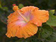 Dew Covered Hibiscus, Kauai, Hawaii
