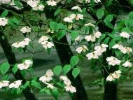 Dogwood Blossoms, Great Smoky Mountains, Tennessee