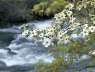 Dogwood Tree Blooms, Yosemite, California
