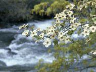 Dogwood Tree Blooms, Yosemite, California