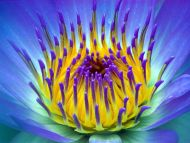 Electric, Water Lily