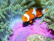 False Clown Anemonefish, Bali, Indonesia
