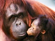 Female Sumatran Orangutan and Baby