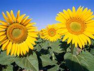 Desktop Wallpapers Flowers Backgrounds Field Of Sunflowers