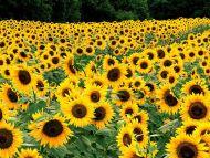 ¿Cómo sería tu personaje si...?  - Página 5 Field-of-sunflowers_kentucky
