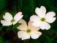 Desktop Wallpapers Flowers Backgrounds Flowering Dogwood