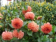 Flowers Dahlia Pink
