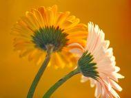 Flowers of Gerbera Daisy