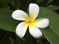 Frangipani Seychelles