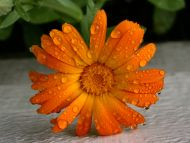 Fresh and Wet Gerbera