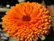 Fresh Orange Flower