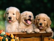 Friends Forever, Golden Retriever Puppies