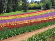 Garden Of Colourful Tulips