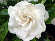 desktop wallpapers » flowers backgrounds » gardenia mystery », Beautiful flower