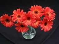 Gerbera Daisies Red