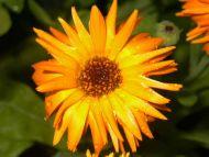 ... wallpapers flowers gardens backgrounds gerbera daisy gerbera daisy