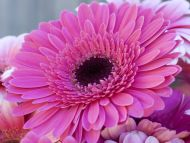Desktop wallpapers flowers backgrounds gerbera daisy www gerbera daisy izmirmasajfo
