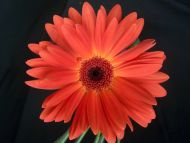 ... flowers gardens backgrounds gerbera daisy orange gerbera daisy orange